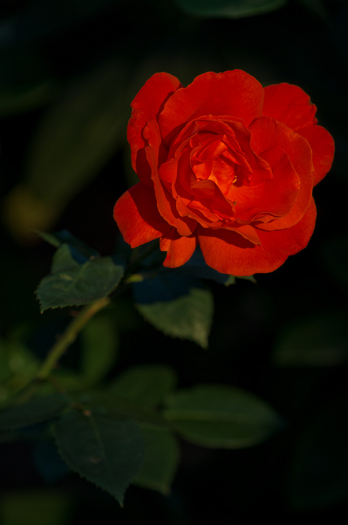 Rote blumenrosen wie photographieren pentaxians bild thecheapjerseys Images